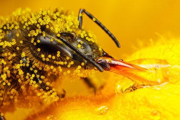 honeybee_covered_in_zucchini_pollen_ii_by_dalantech-d7vtfuj