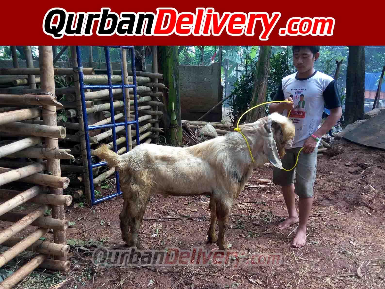 Jual hewan kurban, kambing kurban, sapi kurban dengan harga murah dan kualitas terbaik. Jual Sapi PO Qurban Di Bekasi Prediksi 2021-Qurban Delivery