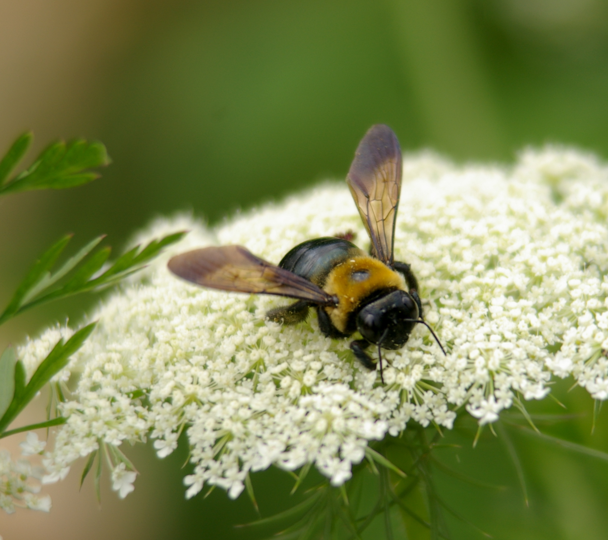 A large bee with a black head and abdomen, and a gold, furry thorax nectaring on Queen Anne's Lace