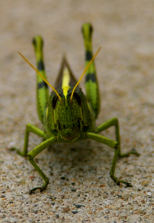 Face-on view of a bird grasshopper - Orthoptera: Acrididae, Schistocerca obscura