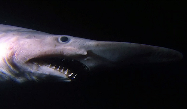 Image result for goblin shark