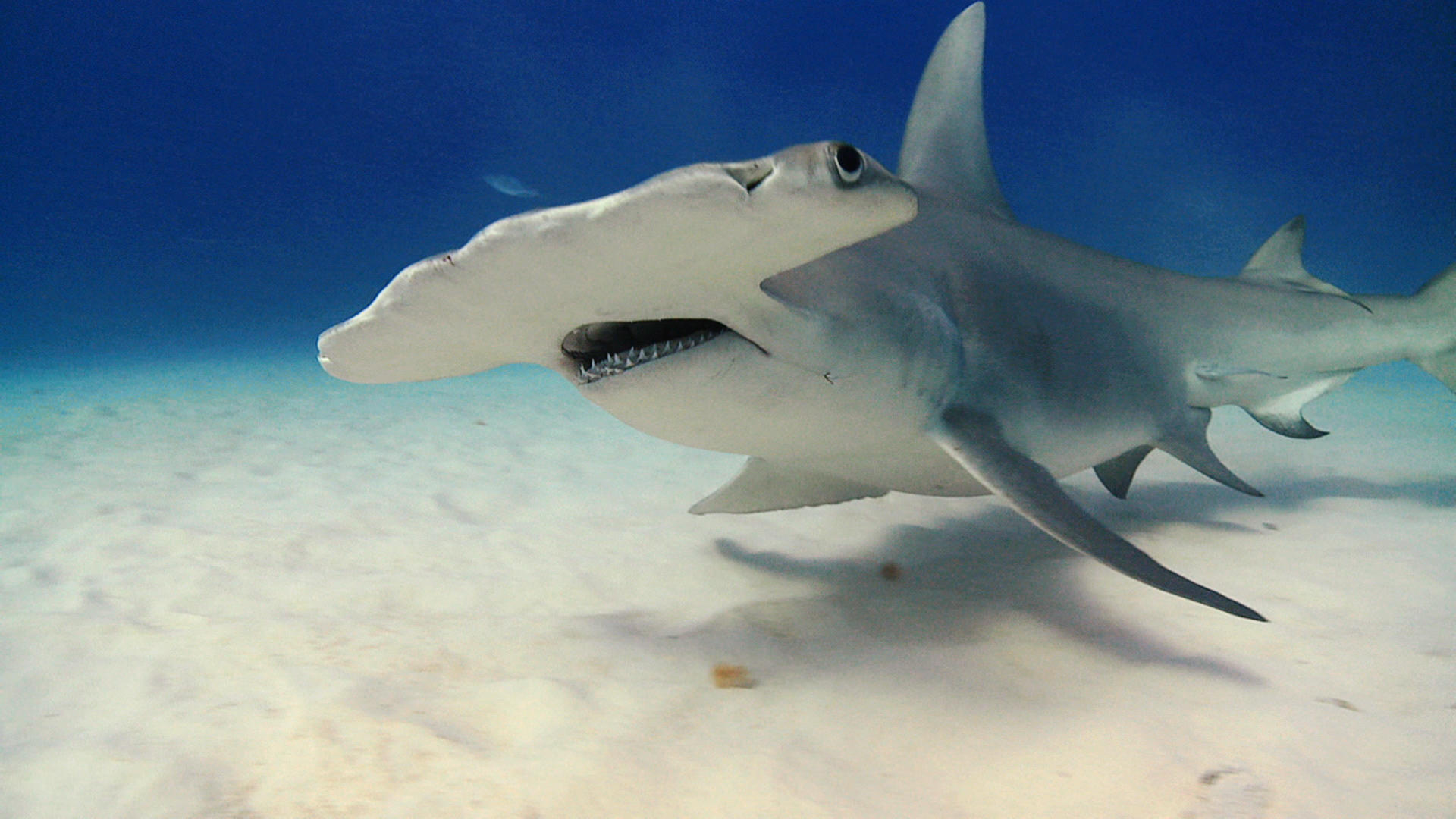 The Hammerhead Electric Vision Shark