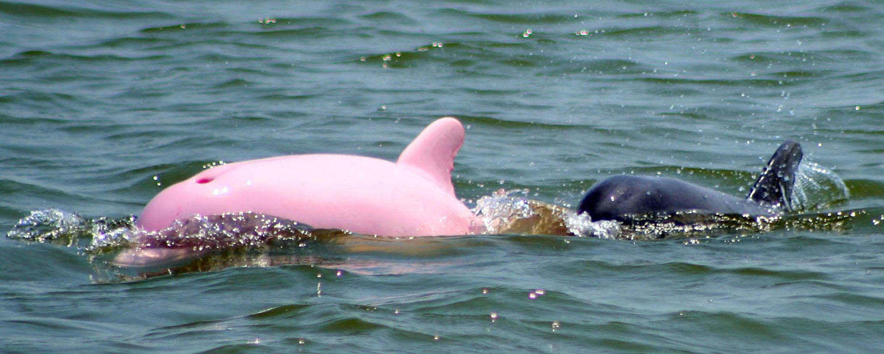 Pinky the pink dolphin