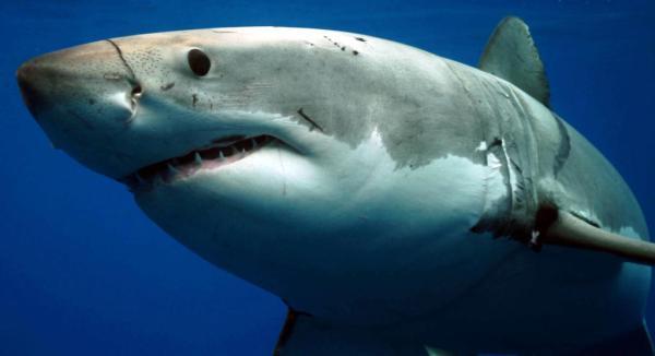 Great White Shark Shark Week Discovery