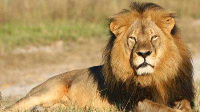 The image above shows a picture of a lion.