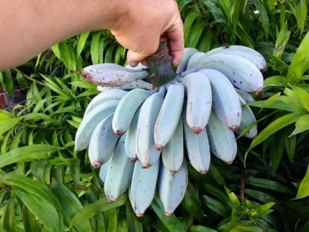 Голубой бирманский банан (лат. Musa itinerans)