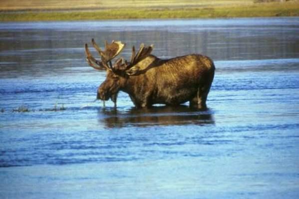 Охоту на лосей и оленей в Мурманской области запретят ...