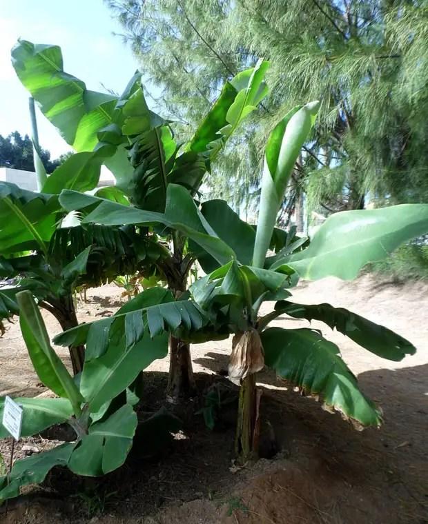 Банан заостренный (лат. Musa acuminata)