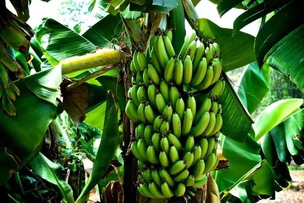 Плод банана
