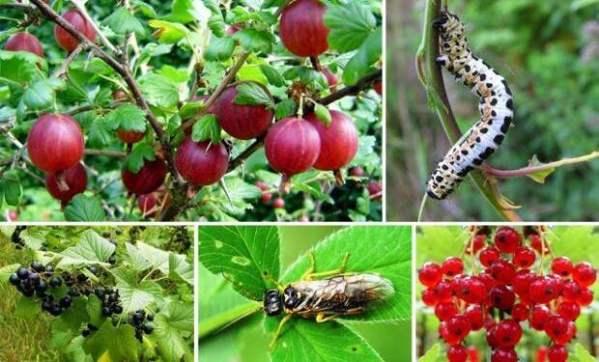 Вредители смородины и крыжовника – фото, описание, чем ...