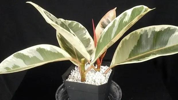 Ficus ысқылауы - үйдегі күтім, тегістеу және қалыптастыру