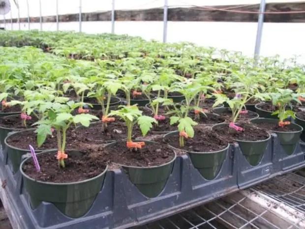 Plántulas de tomates en el invernadero.
