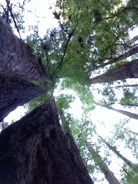redwood vayetzei