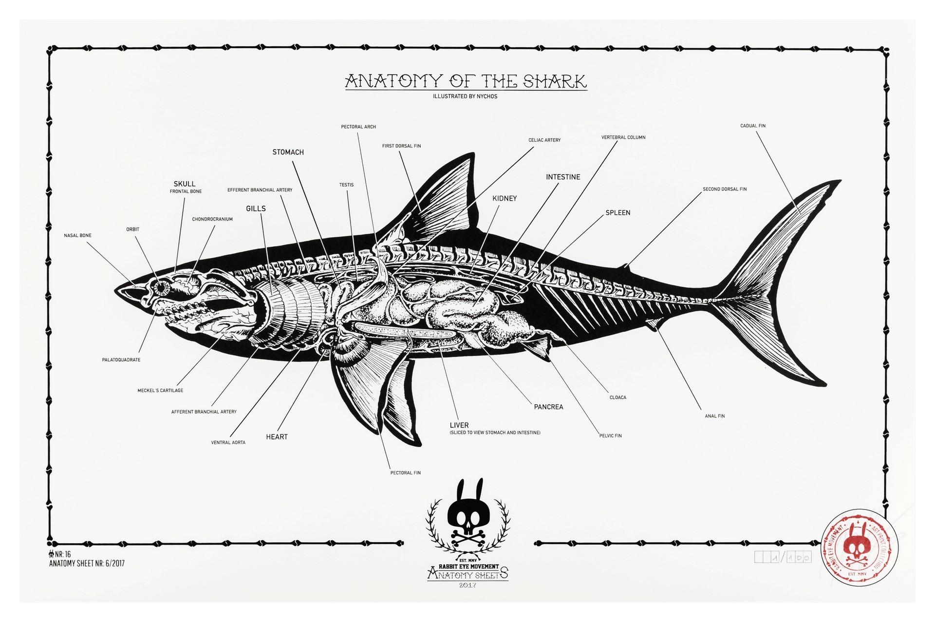 Anatomy Of The Shark Anatomy Sheet No 16