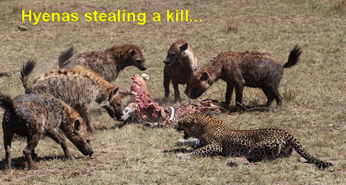Hyenas at a kill
