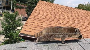 Raccoon Removal Toronto - Affordable Wildlife Control