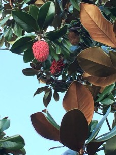 mtsu-pineapple