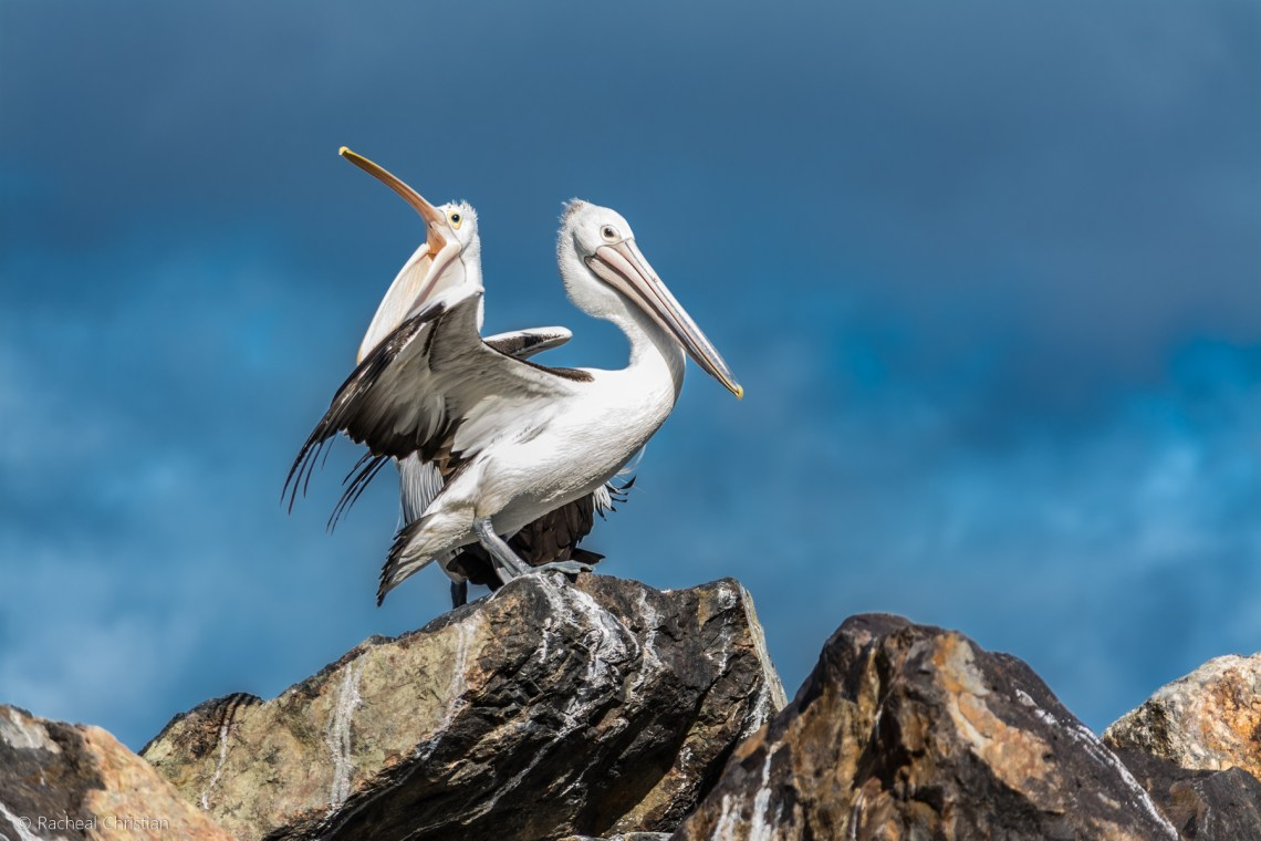 Pelican: 'The Pelicans' by Racheal Christian - Photographed at Eden Wharf in NSWrachealchristianphotography.com