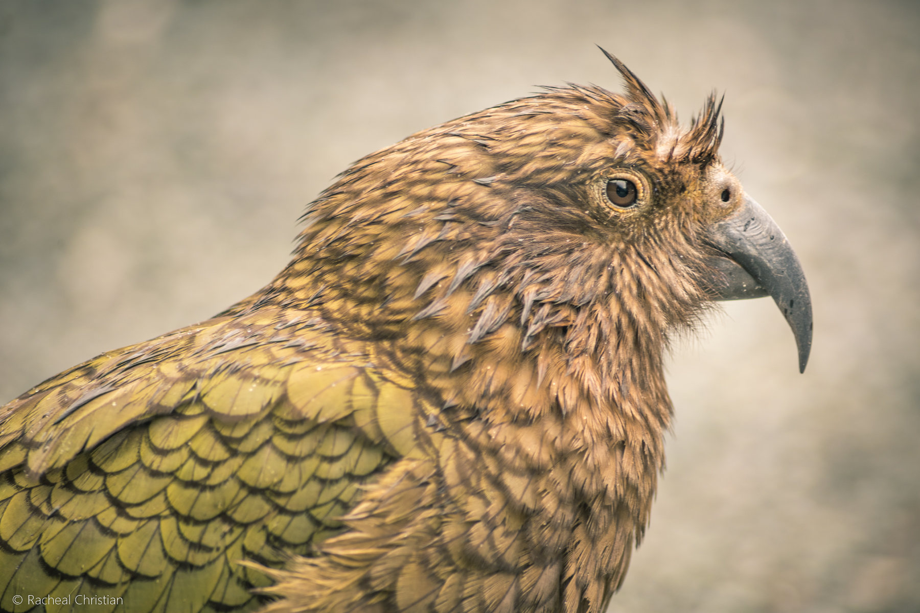 The Kea – Photographing The World's Only Alpine Parrot