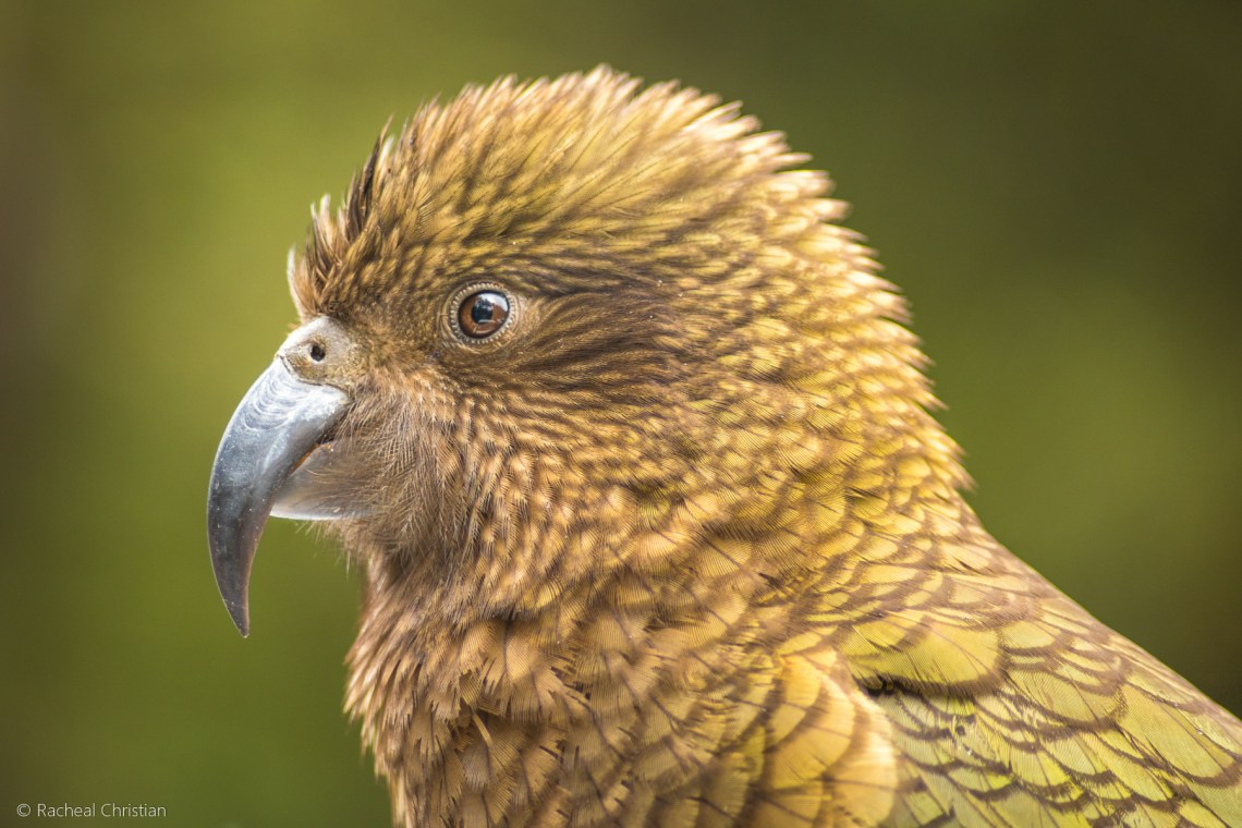 The Kea – Photographing The World's Only Alpine Parrot by Racheal Christian