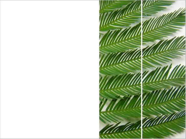 rachela abbate Mimosa_2_herbariumseries-by-Rachela-Abbate herbarium