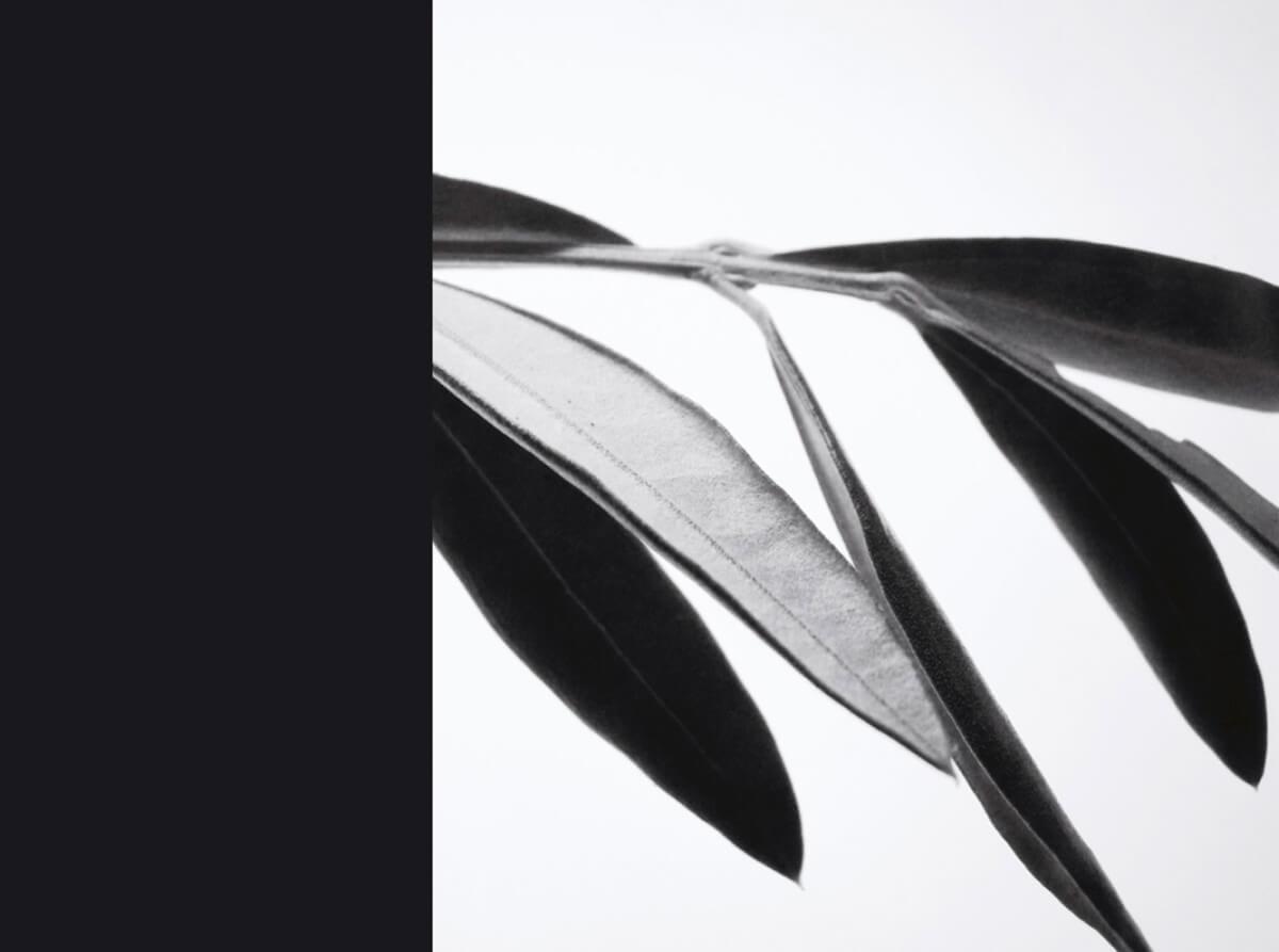 rachela abbate Olivo_1_herbarium-series-by-Rachela-abbate herbarium