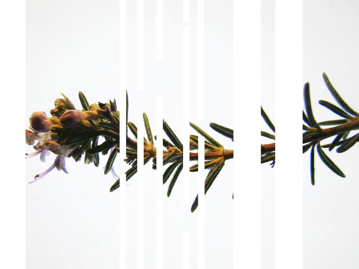rachela abbate Rosemary_herbarium_Rachela-Abbate herbarium