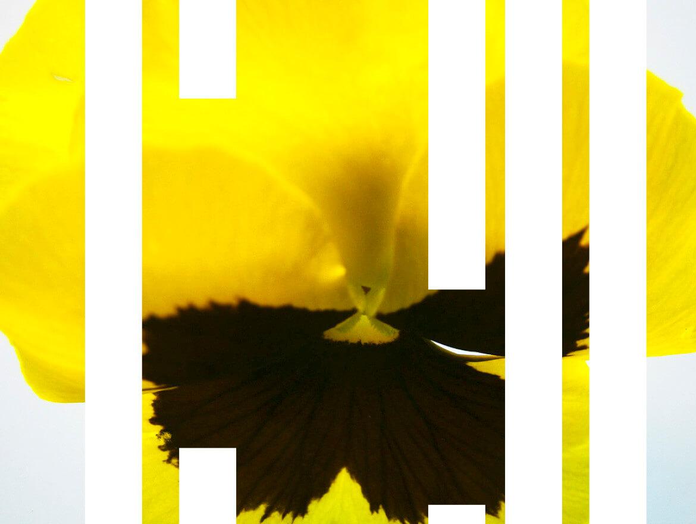rachela abbate pansy-2_herbarium_Rachela-Abbate herbarium