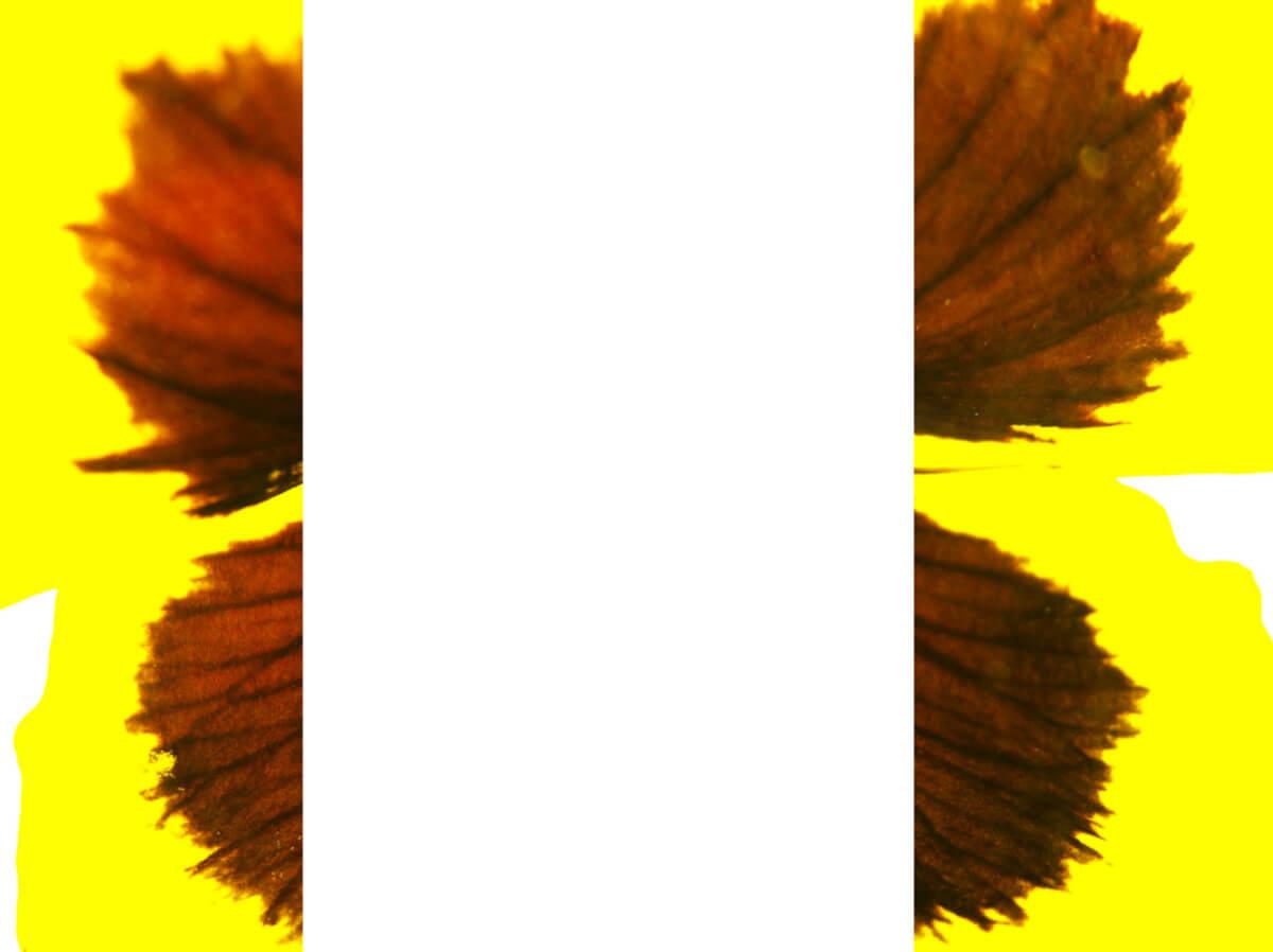 rachela abbate pansy_1_herbarium-series-by-Rachela-Abbate herbarium
