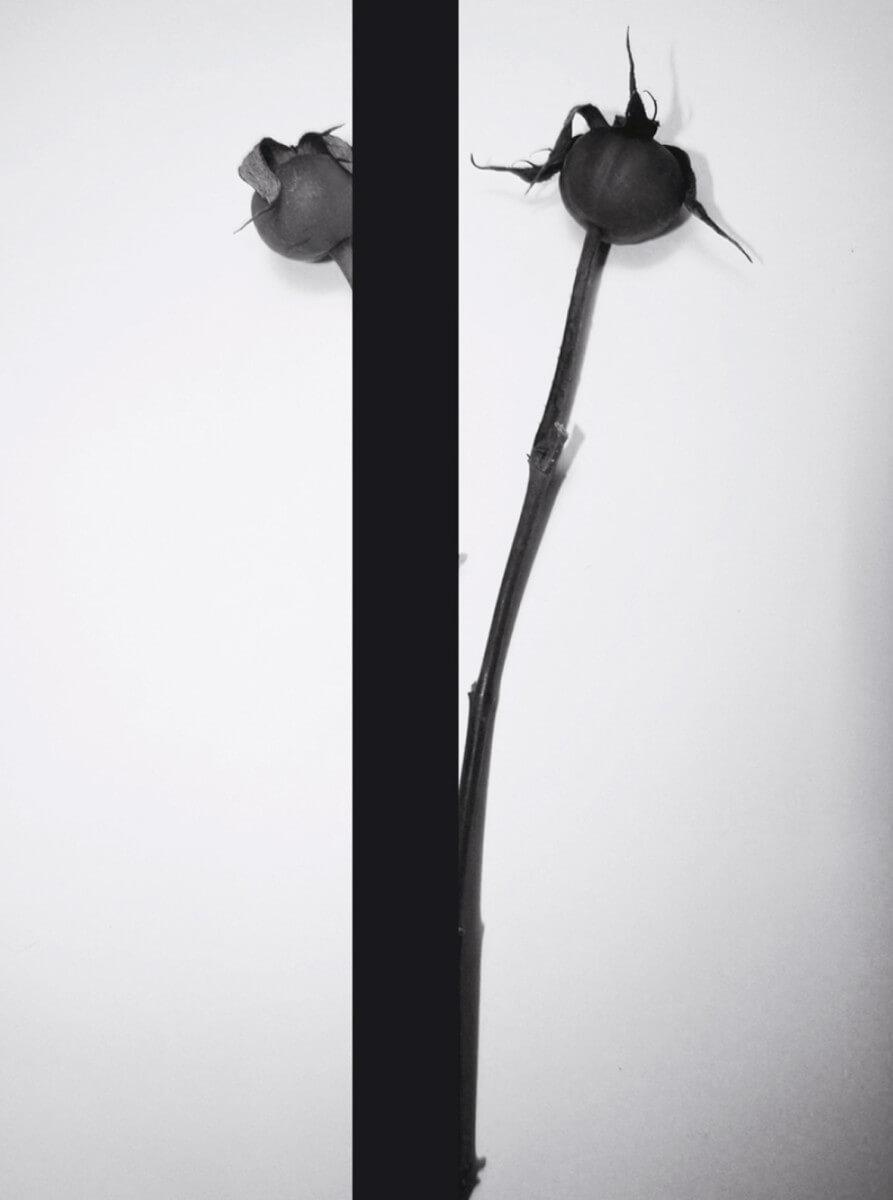 rachela abbate rosehip_2_herbarium-series-by-Rachela-Abbate herbarium