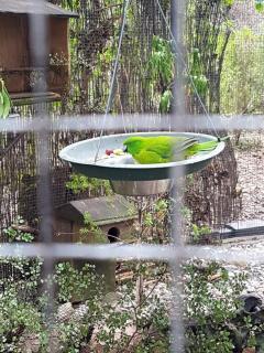 antipodes-parakeet
