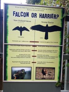falcon-or-harrier
