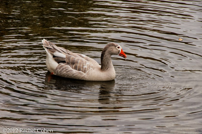 Lovely goose in a pond