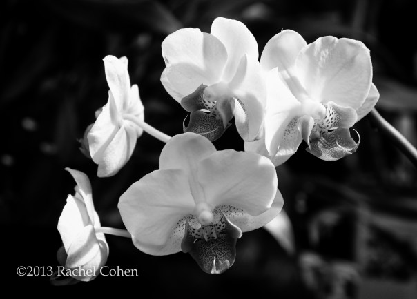 Orchids in monochrome