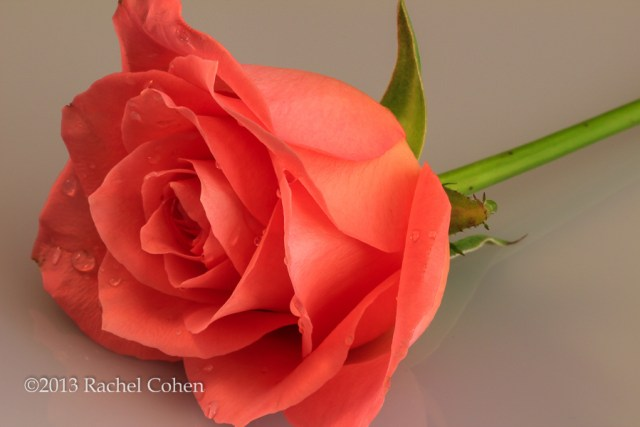 """""""Rose in Peach"""" 1"""