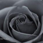 """""""Timeless Rose"""""""