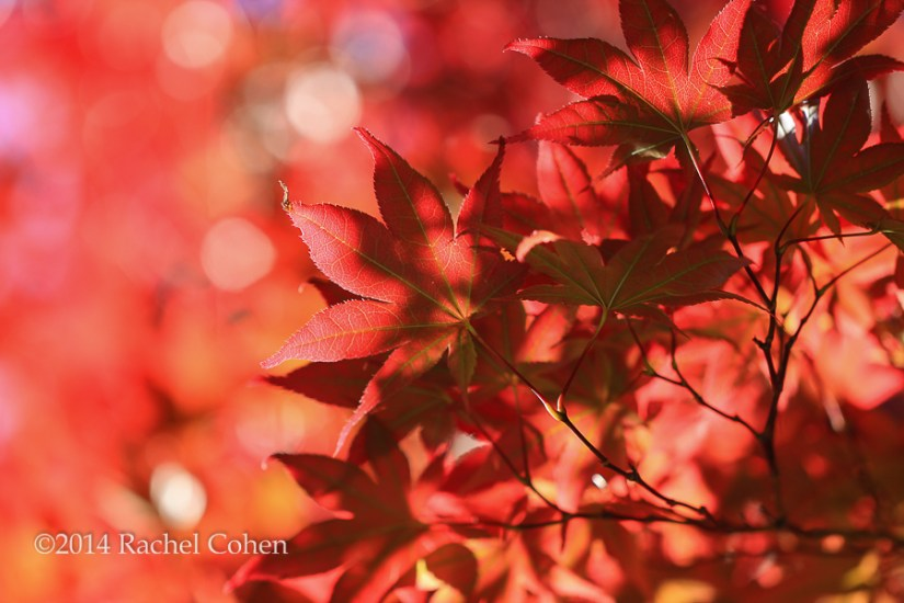 """Japanese Maple in Red"" Some glorious fall color!"
