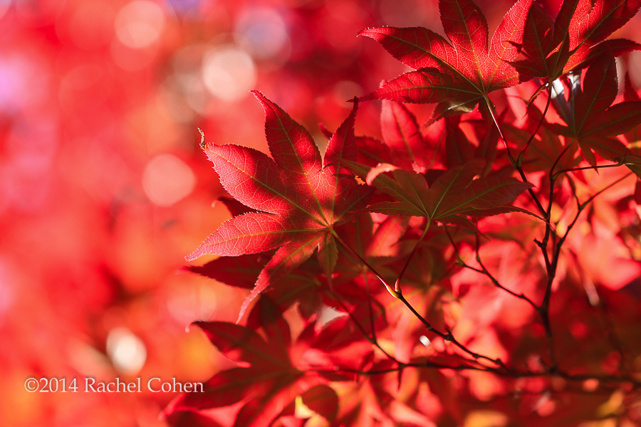 """Japanese Maple in Red"""