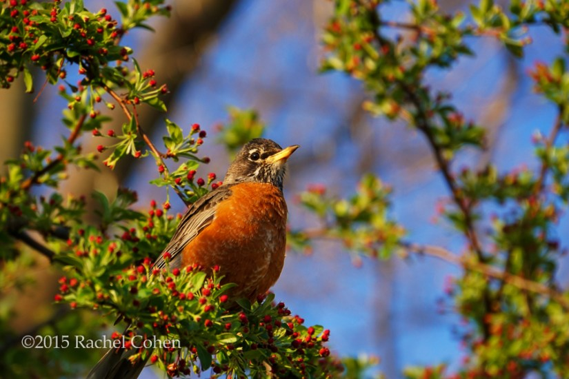 """Robin in Spring"""