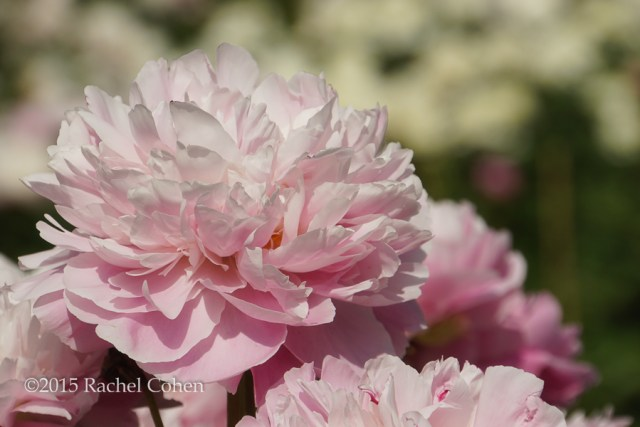 """Ahead of the Crowd"" Lovely light pink and peonies with ruffled petals against a background of white peonies!"