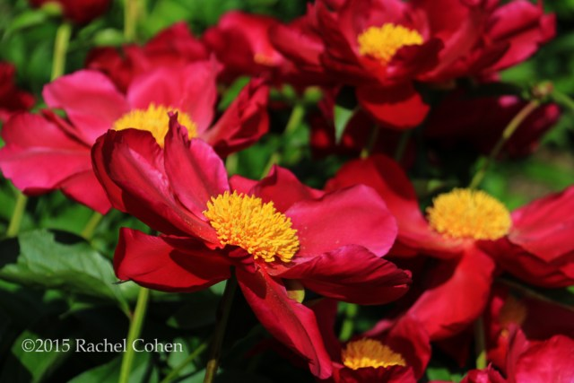 """Dusted in Yellow"" Beautiful red peonies with a large golden center, fully opened to the morning sunlight!"
