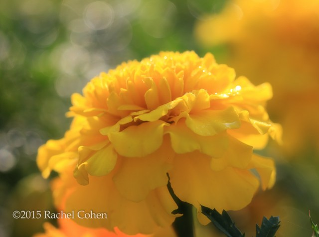 """""""Morning When I Rise"""" Gorgeous and golden marigold in the beauty of the rising sun!"""
