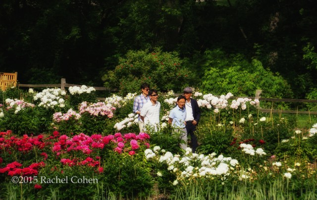 """Peony Garden Stroll"" Some peony admirers strolling through the Peony Gardens at Nichols Arboretum in Ann Arbor Michigan!"