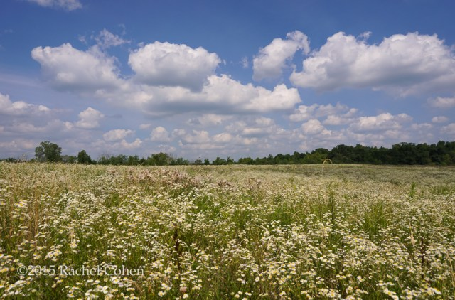 """Watch the Wildflowers Grow""  Millions of amazing wildflowers on acres of land and the Conservancy Farm in Superior Township, Michigan!"