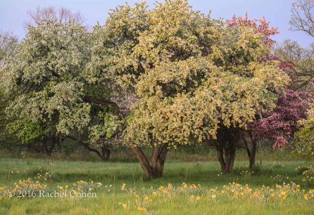 """""""Floating Raindrops in Spring""""  One spring morning just as a rain was ending I was in search of trees in bloom. I found these apple trees surrounded by daffodils.  Sunlight shown through some of the remaining drops of rain as they fell from the trees. What a beautiful  spring morning it was!"""