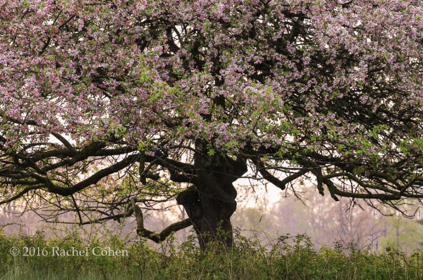 """Foggy Spring Morning"" Sunlight, fog, and haze glow behind a wonderful apple tree in spring!"