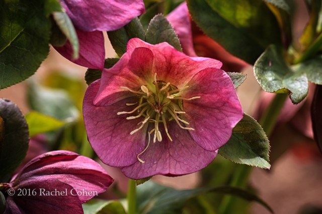 """""""Hellebore in Deep Pink"""" Really lovely pink Hellebore , fully open."""