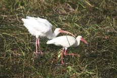 White Ibises foraging in the marsh grass. Everglades National Park.