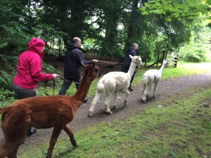 Follow the leader ©Alpacaly Ever After