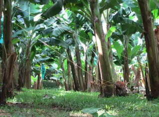 Guadeloupe's quirky Banana Museum